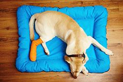 Hund liegt mit Gipsbein im Körbchen
